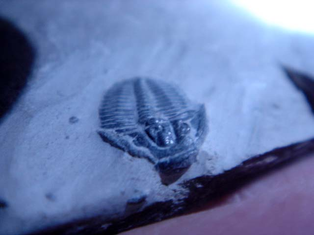 Trilobites ขนาดเล็ก (ยังติดกับหิน) 2