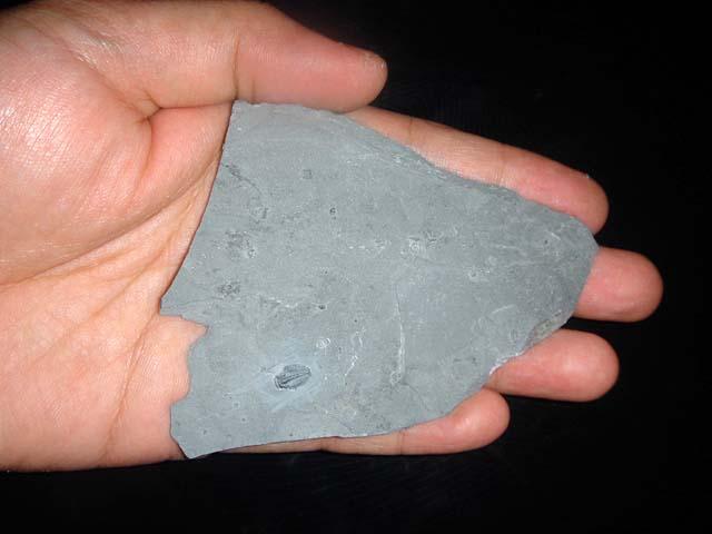 Trilobites ขนาดเล็ก (ยังติดกับหิน) 5
