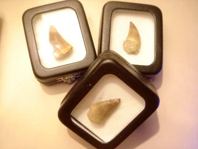 ฟอสซิลฟันไดโนเสาร์ขนาดเล็ก (Small Dinosaur Tooth/Mosasaurus Tooth) 2