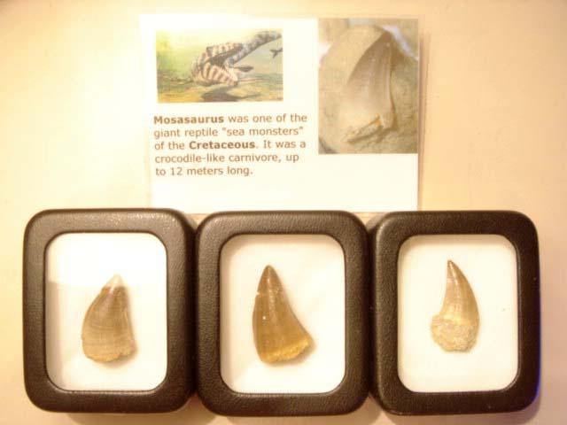 ฟอสซิลฟันไดโนเสาร์ขนาดเล็ก (Small Dinosaur Tooth/Mosasaurus Tooth) 3