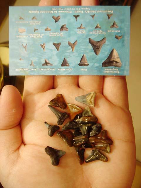 ฟอสซิลฟันปลาฉลามเมกาโรดอนขนาดเล็ก (Mini Fossil Shark Tooth Megalodon) สินค้าหมด!