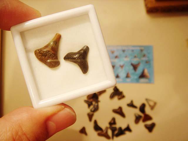 ฟอสซิลฟันปลาฉลามเมกาโรดอนขนาดเล็ก (Mini Fossil Shark Tooth Megalodon) สินค้าหมด! 5