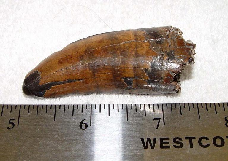 ฟอสซิลฟันไดโนเสาร์ไทยแรนโนซอรัส T-Rex (Tyrannosaurus rex tooth - 2.5 inch) 1