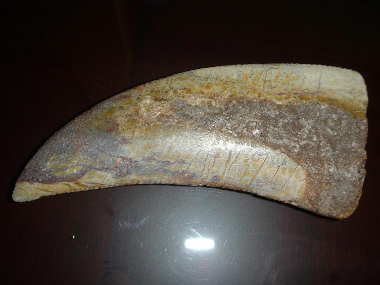 สมบูรณ์ฟอสซิลฟันเสือโบราณ Machairodus Giganteus หรือ Smilodon - จำหน่ายแล้ว! 3