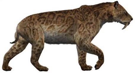 สมบูรณ์ฟอสซิลฟันเสือโบราณ Machairodus Giganteus หรือ Smilodon - จำหน่ายแล้ว! 8