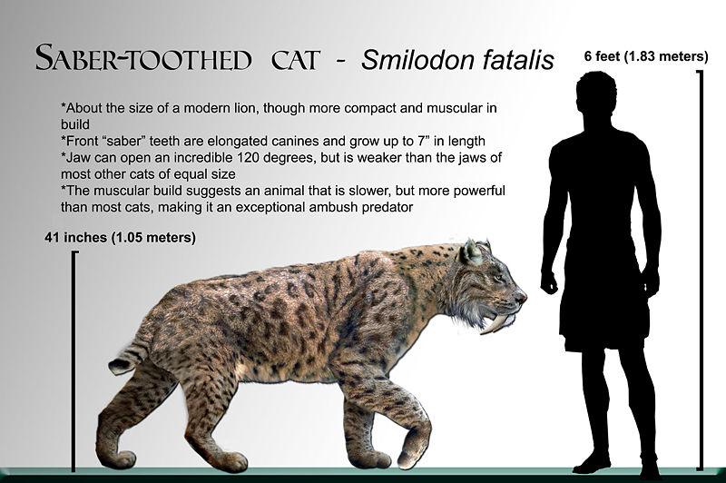 สมบูรณ์ฟอสซิลฟันเสือโบราณ Machairodus Giganteus หรือ Smilodon - จำหน่ายแล้ว! 9