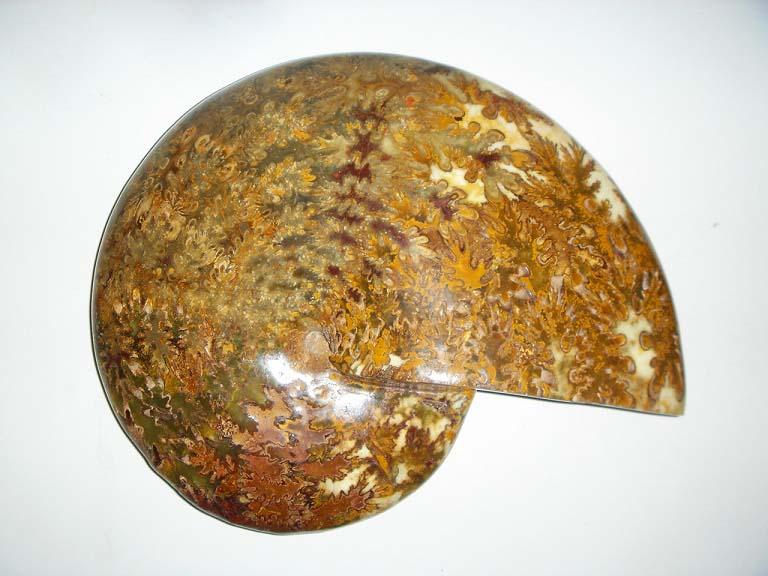ฟอสซิลหอยทะเลแอมโมไนต์ (Ammonite) 1