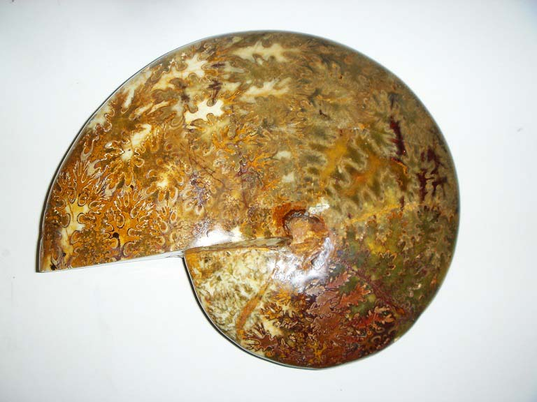 ฟอสซิลหอยทะเลแอมโมไนต์ (Ammonite) 2