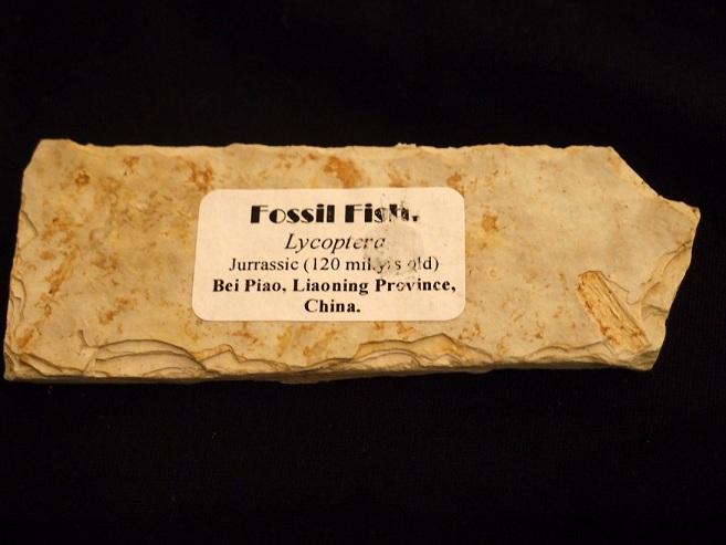 Fish Fossils (ฟอสซิลปลา) 2
