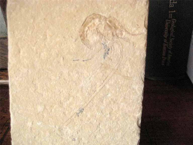 ฟอสซิลกุ้ง - Fossil Shrimp I 1
