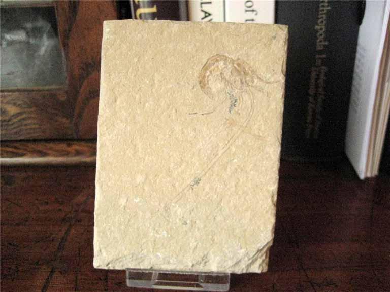 ฟอสซิลกุ้ง - Fossil Shrimp I 2