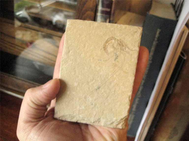 ฟอสซิลกุ้ง - Fossil Shrimp I 3