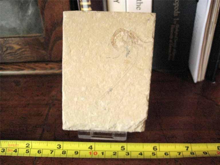 ฟอสซิลกุ้ง - Fossil Shrimp I 4