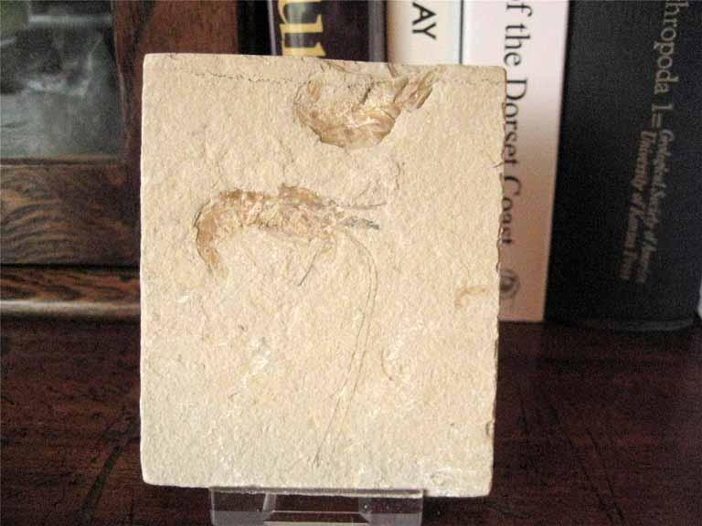 ฟอสซิลกุ้ง - Fossil Shrimp  II