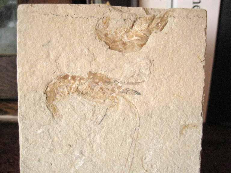 ฟอสซิลกุ้ง - Fossil Shrimp  II 2