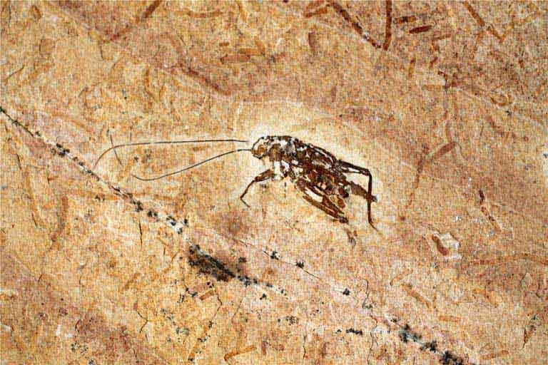 ฟอสซิลแมลงสาบ บนแผ่นหิน