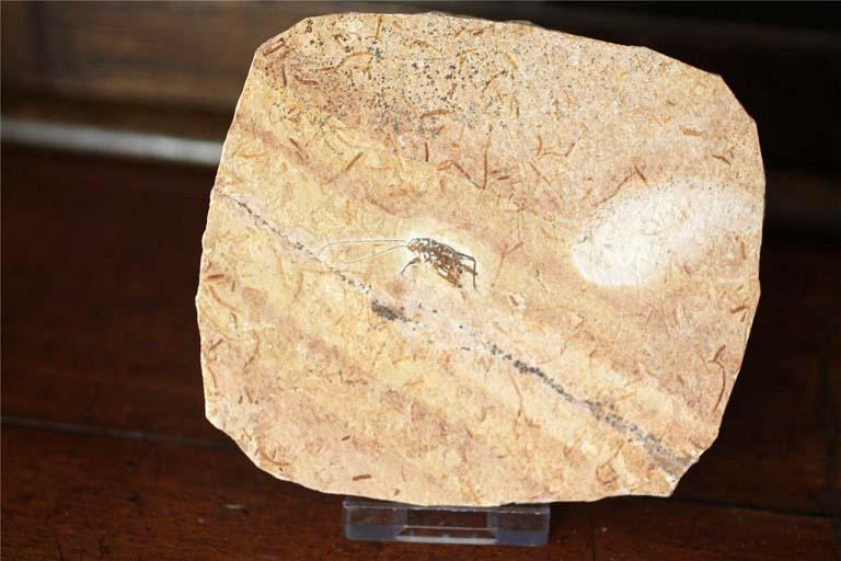 ฟอสซิลแมลงสาบ บนแผ่นหิน 2