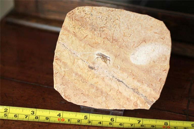 ฟอสซิลแมลงสาบ บนแผ่นหิน 3