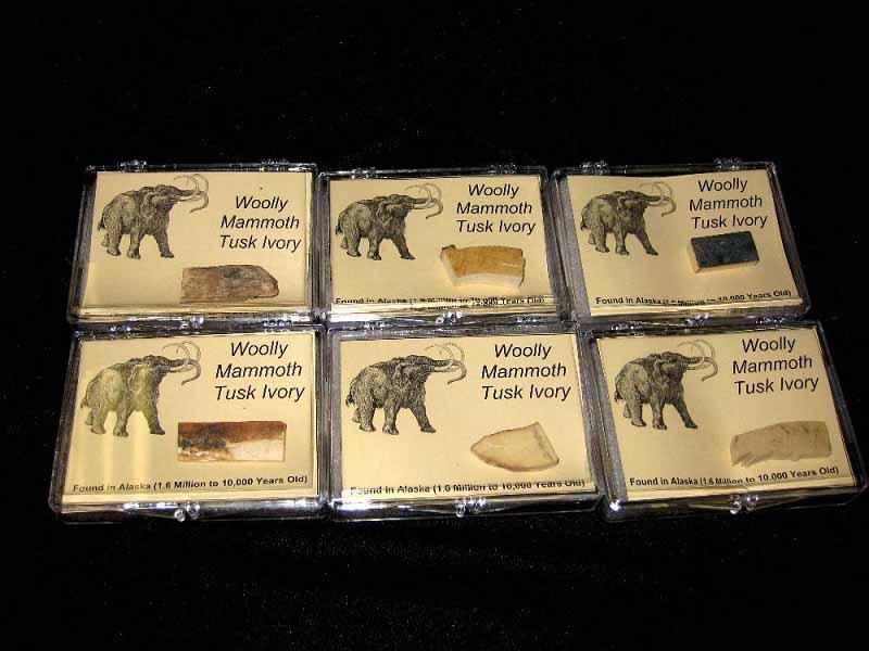 ชิ้นส่วนงาช้างแมมมอธ (Woolly Mammoth Tusk Ivory)
