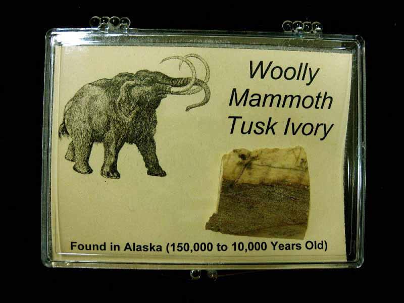 ชิ้นส่วนงาช้างแมมมอธ (Woolly Mammoth Tusk Ivory) 1