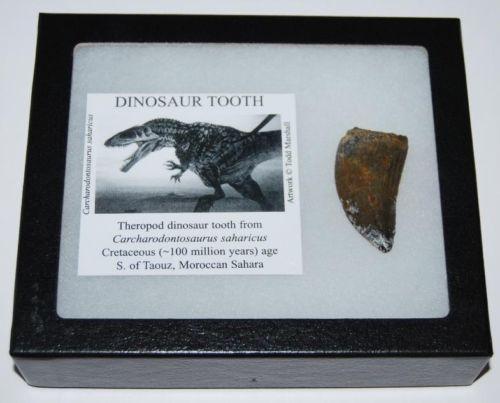 ฟอสซิลฟันไดโนเสาร์ AFRICAN TREX