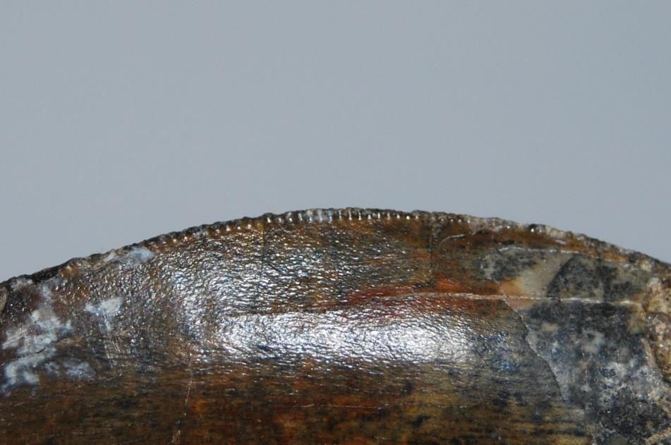 ฟอสซิลฟันไดโนเสาร์ AFRICAN TREX 3