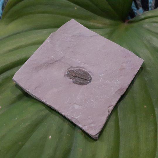 2 - ฟอสซิลไทรโลไบต์ - Trilobite ขนาดเล็ก (ยังติดกับหิน) 2